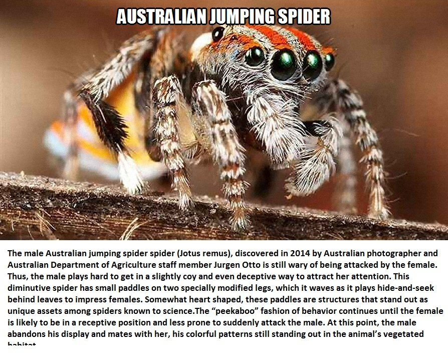 CLUB GIGGLE australian-jumping-spider Top 5 Bizzare Spiders