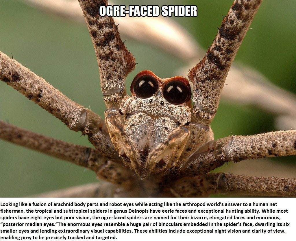CLUB GIGGLE ogre-faced-spider Top 5 Bizzare Spiders