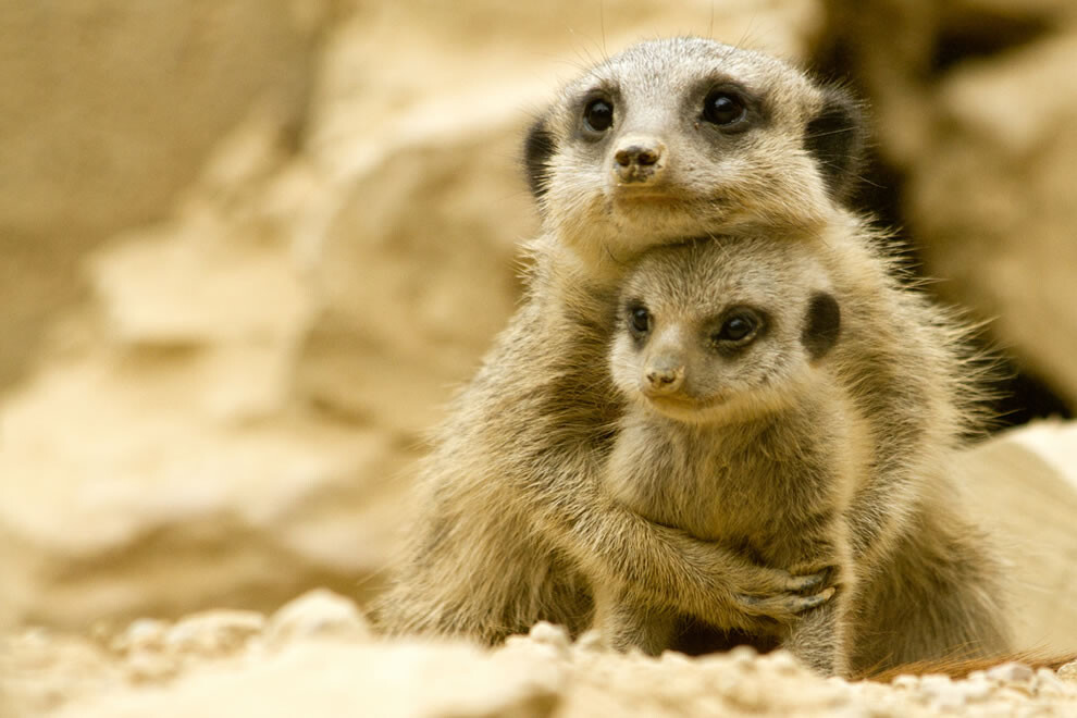 CLUB GIGGLE Meerkat-momma-snuggles-her-baby Top 35 Photos That Show Love In The Animal World....