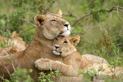 CLUB GIGGLE gallery-1432764623-lions Top 35 Photos That Show Love In The Animal World....
