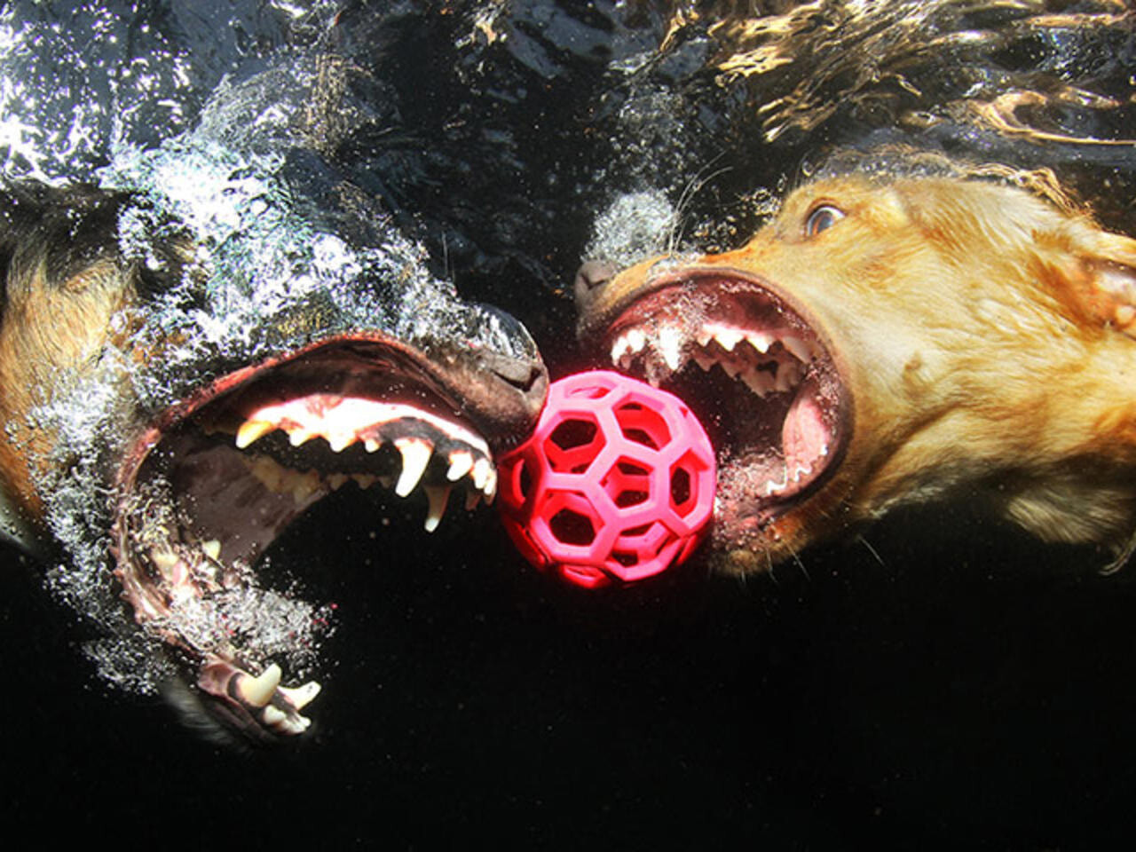 CLUB GIGGLE funny-dogs4-1 25 Amazing Pictures of dogs catching treats underwater..
