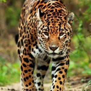 CLUB GIGGLE Jaguar-300x300 The Cutest Most Dangerous Big Cats