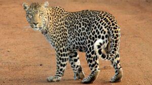 CLUB GIGGLE Leopard-300x169 The Cutest Most Dangerous Big Cats