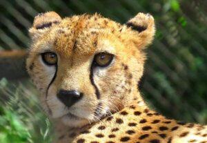CLUB GIGGLE cheetah-300x207 The Cutest Most Dangerous Big Cats