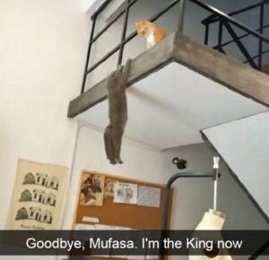CLUB GIGGLE lion-king-cat-300x290 Cats Causing Mayhem!