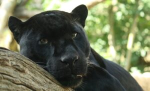 CLUB GIGGLE panther-300x182 The Cutest Most Dangerous Big Cats