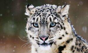 CLUB GIGGLE snow-leopards-300x180 The Cutest Most Dangerous Big Cats