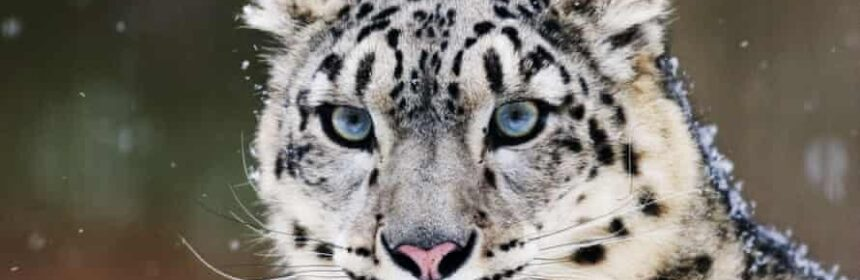 CLUB GIGGLE snow-leopards-860x280 The Cutest Most Dangerous Big Cats