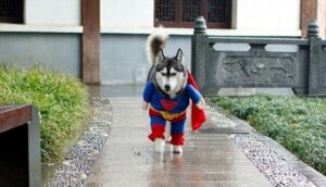 CLUB GIGGLE superhusky-300x172 The Most Adorable Halloween Costume For Dogs