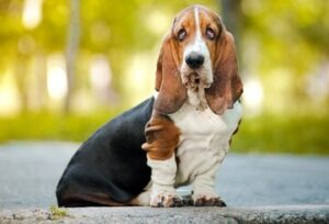 CLUB GIGGLE Bassett-Hounds-300x204 Top Ten Dogs That Are Awesome for Seniors