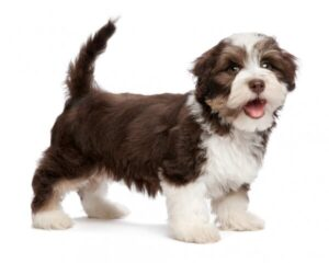CLUB GIGGLE Havanese22-300x240 Top Ten Dogs That Are Awesome for Seniors