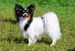 CLUB GIGGLE Papillon-300x207 Top Ten Dogs That Are Awesome for Seniors