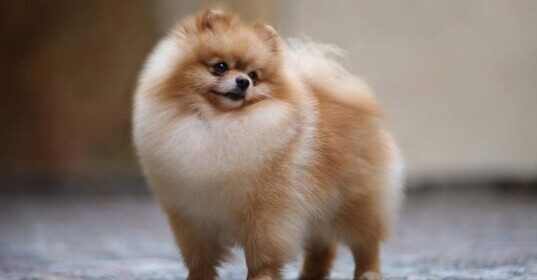 CLUB GIGGLE Pomeranian-537x280 Top Ten Dogs That Are Awesome for Seniors
