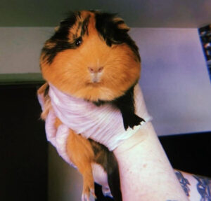 CLUB GIGGLE guinea-pig-300x287 Have you ever seen anything so big?