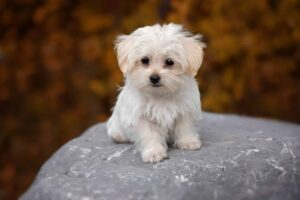 CLUB GIGGLE maltese-puppy-300x200 Top Ten Dogs That Are Awesome for Seniors
