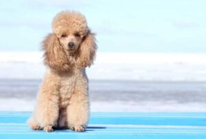 CLUB GIGGLE poodle-300x202 Top Ten Dogs That Are Awesome for Seniors